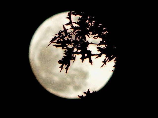 Moon With Oak Leaves