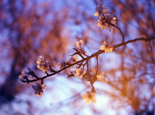 Almond blossom in the sunset