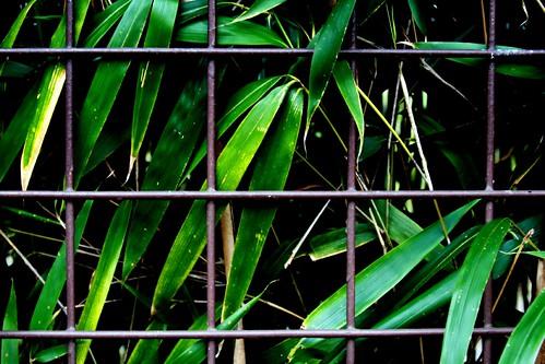 leaves closeup fence baker bamboo urbannature fencedoff mrgreenjeans gaylon cohnsarboretum gaylonkeeling
