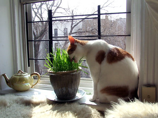 kitty loves her grass | by staceyjoy