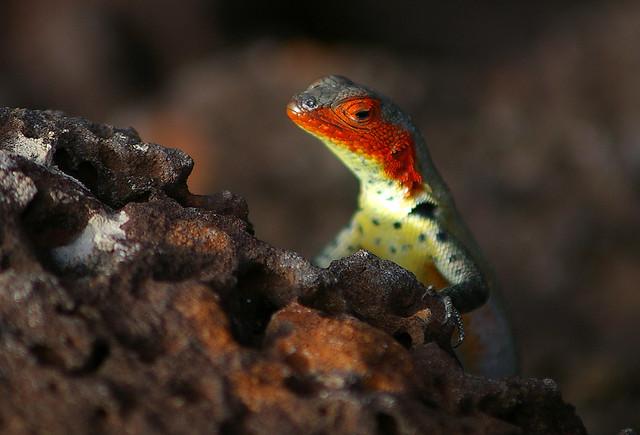 Galápagos lava lizard - female 1