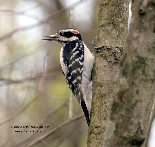 [ Male ] Woodpecker, Hairy by George W Bowles Sr