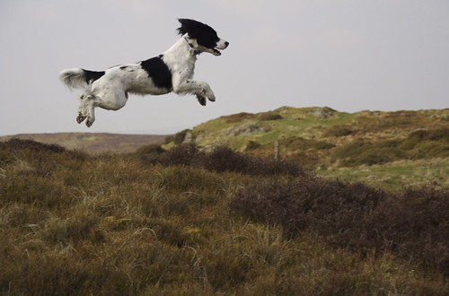 English Springer Spaniel | by Jeffdalt