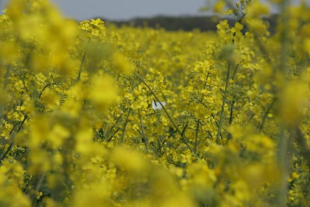 Butterfly in a canola field