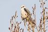White-tailed Kite by Greg Gard