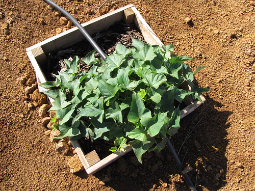 starr-091222-0906-Ipomoea_batatas-in_planter_box-Lua_Makika-Kahoolawe | by Starr Environmental