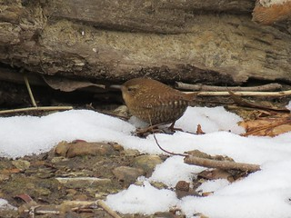 Winter Wren in McCormick's Creek State Park | by jdf_92