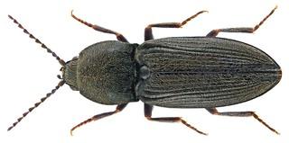 Cardiophorus asellus Erichson, 1840   by urjsa