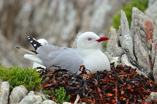Adult red-billed gull on nest (New Zealand) | by |kris|