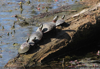 Painted Turtles in the Sun | by Pregilla
