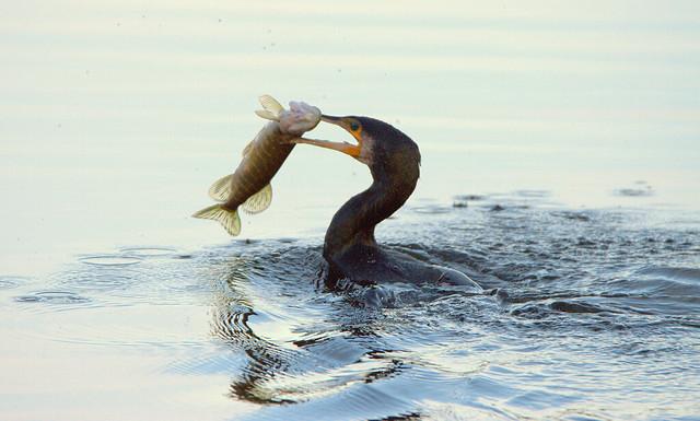 Cormorant with a Pike..........Phalacrocorax carbo