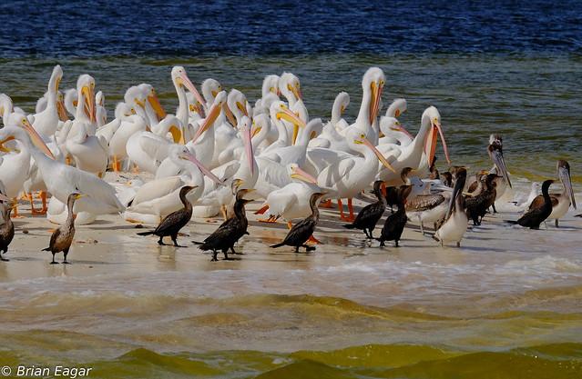 sandbar birds everglades-2015-12-21 10.25.16