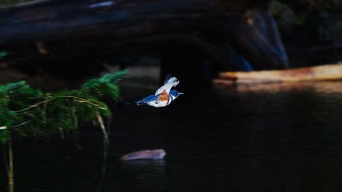 morning winter canada cold bird birds sunrise dawn flying bc head britishcolumbia albert birding flight wing lagoon victoria vancouverisland westcoast metchosin colwood