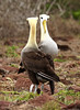 Waved Albatross * Albatros des Galapagos by charbonjoh