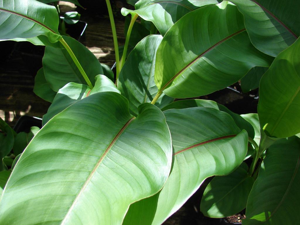 starr-080117-2132-Heliconia_stricta-Dwarf_Jamaican_habit-Home_Depot_Nursery_Kahului-Maui