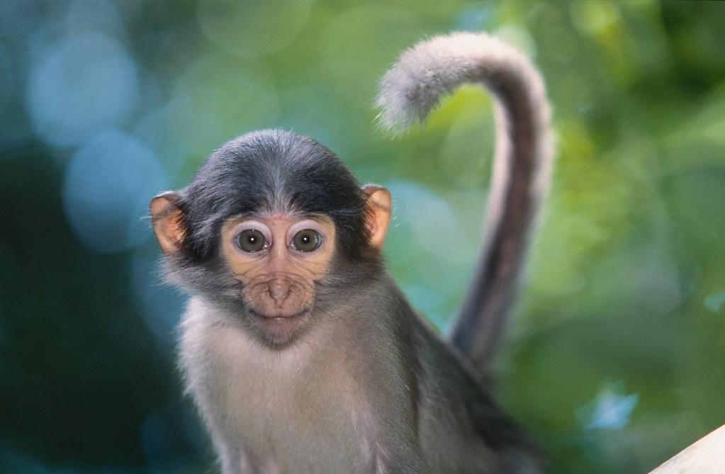 Monkey Wallpapers Hd John Voo Flickr