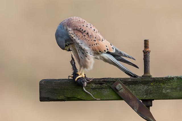 Kestrel (m) - Falco tinnunculus