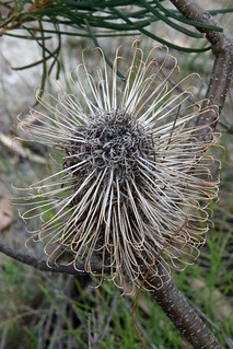 20160218_6368 old Banksia cone | by williewonker