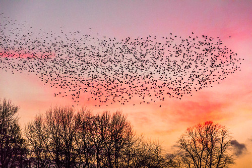 sunset birds display starling sudbury nationaltrust starlings sudburyhall birddisplay murmeration