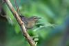 Madagascar Swamp Warbler, Lac Alarobia, Madagascar