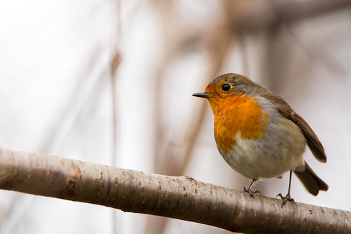 Rouge gorge familier (Erithacus rubecula) | by QMcorp1