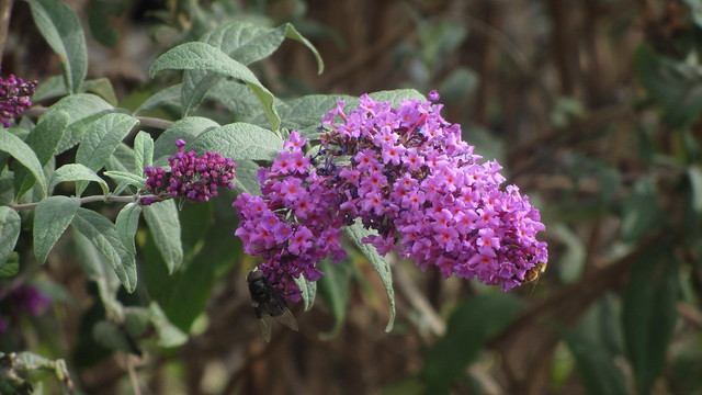 IMG_8079 Dos Pueblos HS budleia butterfly bush bee fly