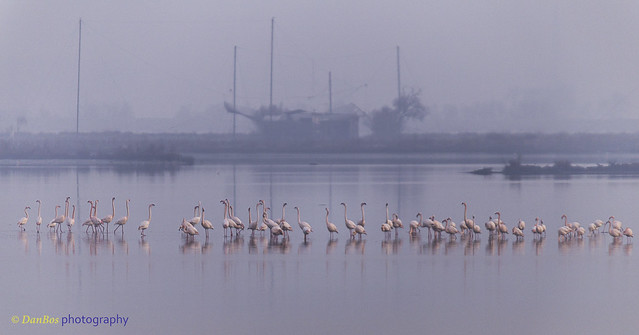 Winter Sunrise with Flamencos (Phoenicopterus Linnaeus) in the Comacchio Lagoon