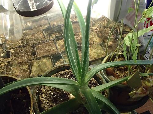 Aloe vera | by hawken.carlton