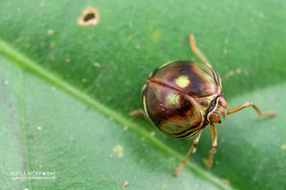 Pill-like planthopper (Gergithus floreni) - DSC_7087