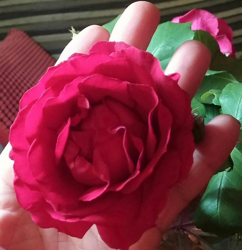 La rosa e il suo profumo