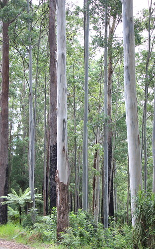plant tree forest landscape outdoor eucalyptus gumtree wauchope cyathea eucalyptusforest wauchopensw cyatheaaustralis wilsonriverroad roughtreefern eucalyptuspilularis williwillinationalpark eucalyptussaligna