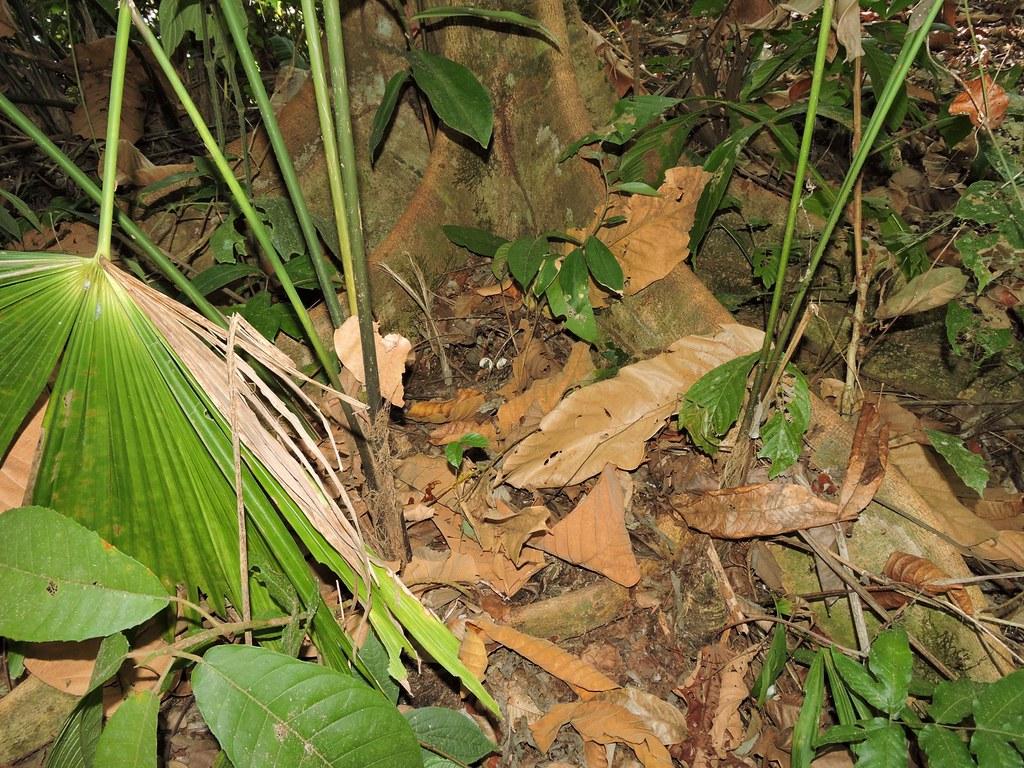 Nido de Odontophorus gujanensis
