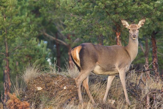 Veado, Red deer (Cervus elaphus)
