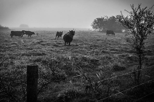 Foggy Pasture.