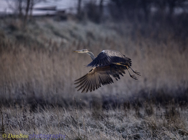Grey Heron (Ardea Cinerea) in a winter sunrise at Comacchio Lagoon