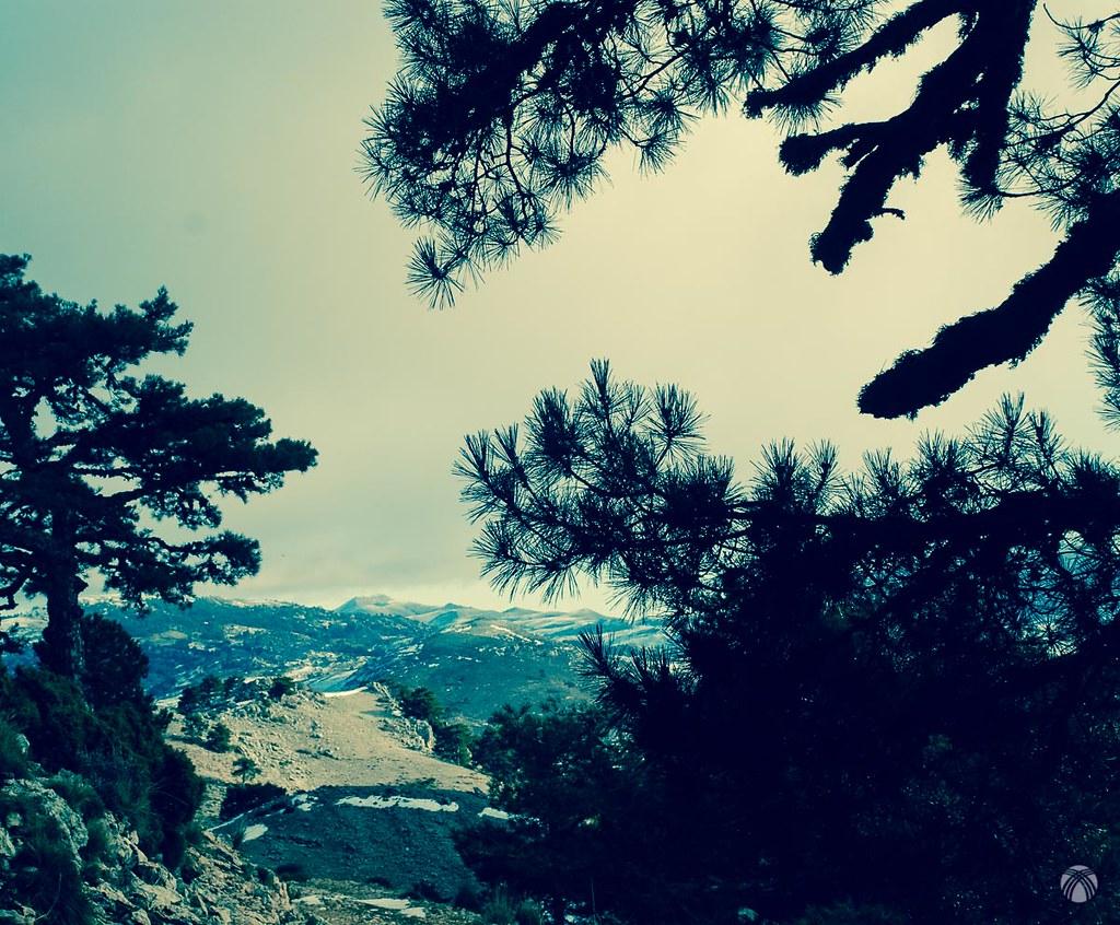 Detalle de los pinos