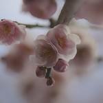 Japanese apricot: 紅梅 #17