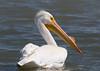 American Pelican by rickdunlap2