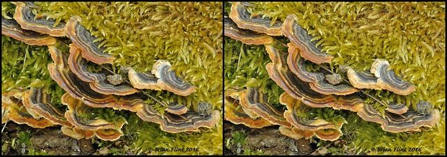 turkey tail mushroom - 3d cross-view