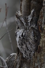 Eastern Screech-Owl, Mahoning Dam Armstrong county 1-20-16