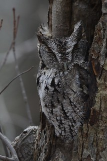 Eastern Screech-Owl, Mahoning Dam Armstrong county 1-20-16 | by anthony.bruno55
