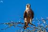 Lanner falcon (Falco biarmicus) by Ha-Tschi