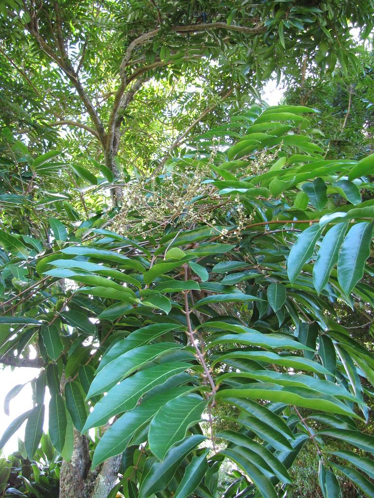 starr-091104-9176-Carapa_guianensis-leaves-Kahanu_Gardens_NTBG_Kaeleku_Hana-Maui