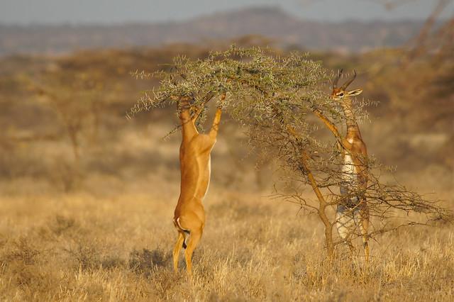 beautiful Gerenuk in Shaba Nature Reserve, Kenya