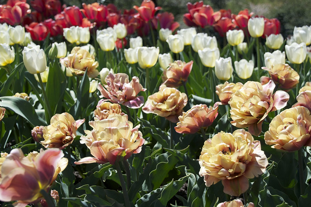 Tulips in the Annual Border