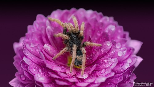 C. bertae Wallpaper Flower | by mygale.de