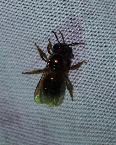 Unidentified Orchid Bee... | by http://www.bigalriverbiologicalreserve.org