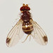 Flickr photo 'Spotted-wing Fruit-fly (Drosophila suzukii) male' by: Martin Cooper Ipswich.