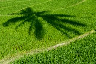 Shadow on rice field, Ombre sur une rizière