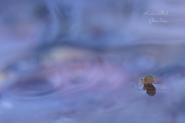 Collembole, ( Collembola ) Sminthurides aquaticus #1212